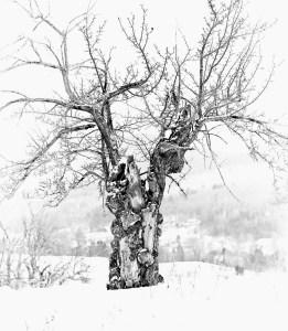 Will Austin's Apple tree