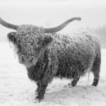 Scottish Highlander enjoying winter