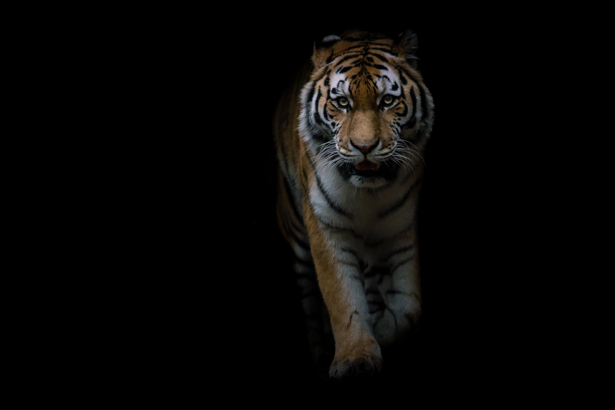 Tijger, dier, dierentuin, dierenrijk, Amersfoort