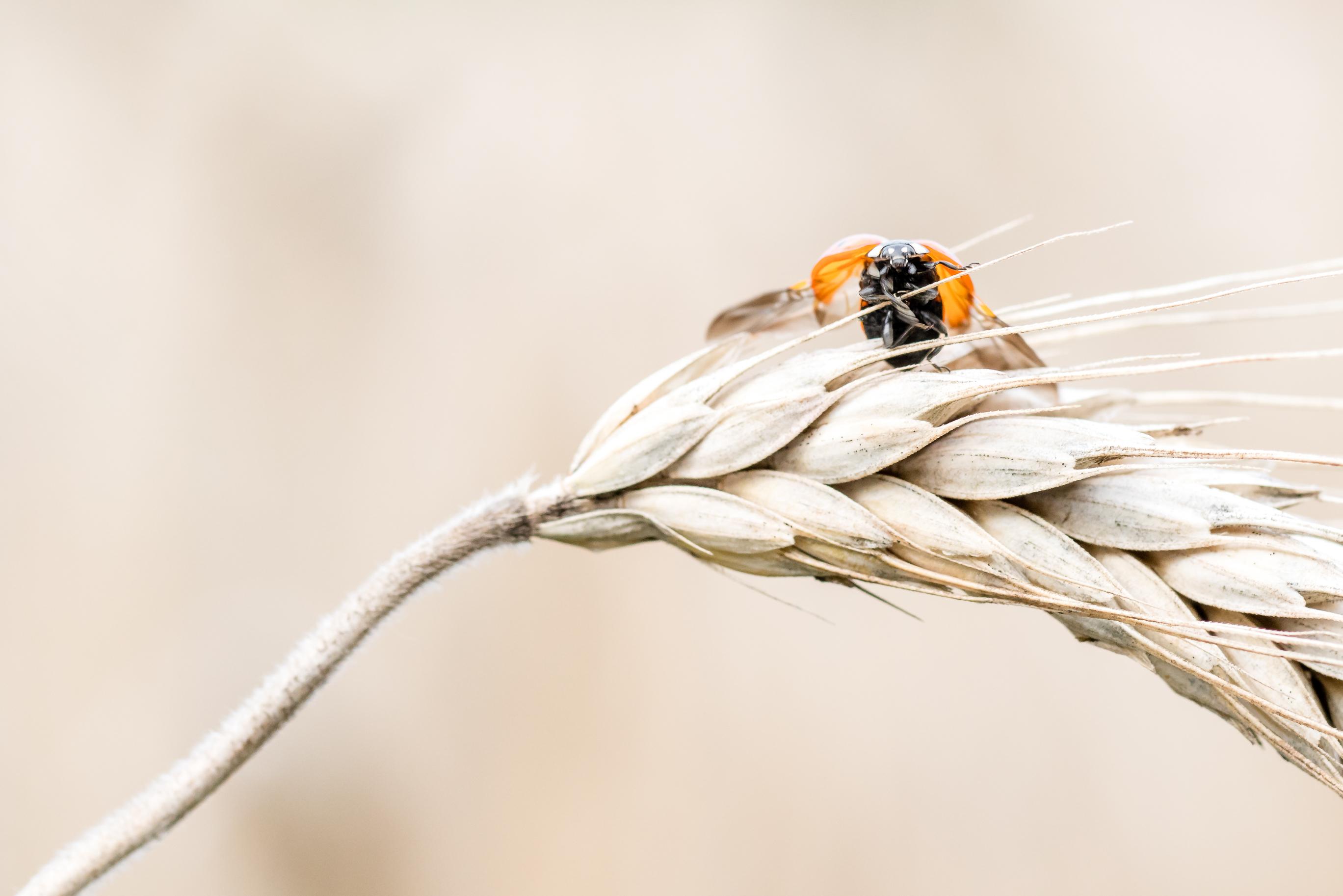 Lieveheersbeestje, Ladybug, macro, insect
