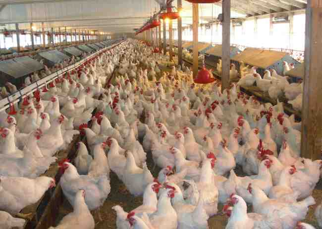 Tyson chickens