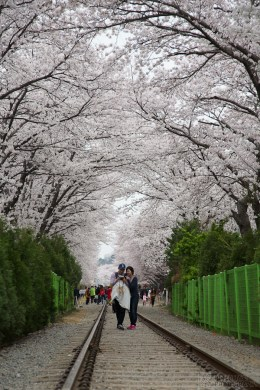 Cherry Blossom Festival     Beautiful Flowers in Jinhae  Korea 2012     After