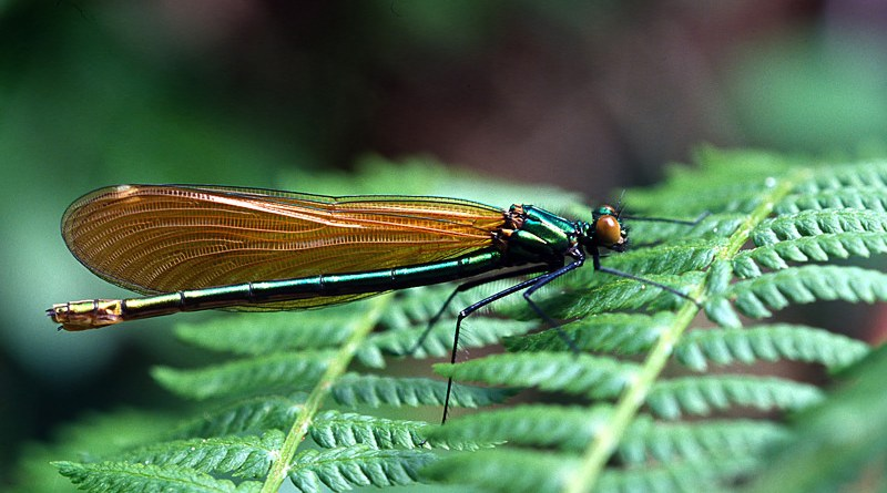 Female Banded Demoiselle at Troublefield 2