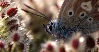 Male Chalkhill Blue (Polyommatus coridon) No.2