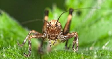 Close up crop of the grasshopper