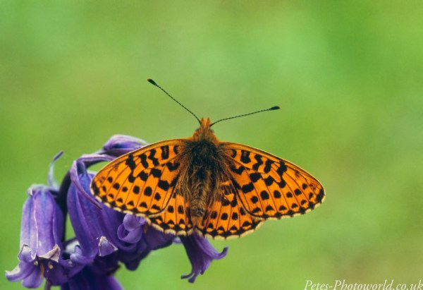 Pearl-bordered Fritillary wings open