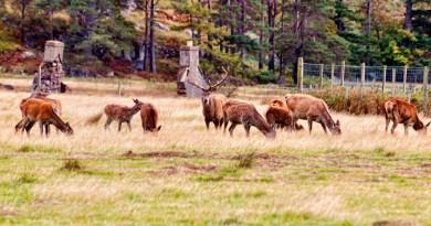 Herd of deer at Torridon Countryside Centre