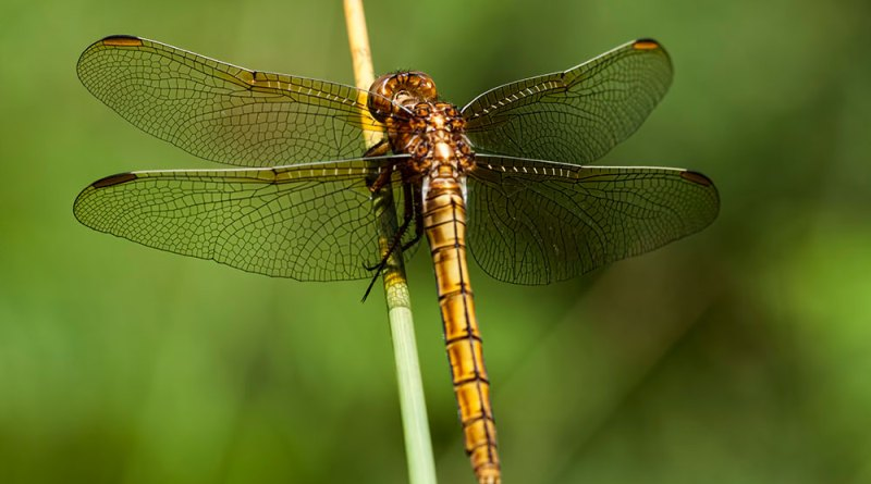 Keeled Skimmer, Pignal Inclosure
