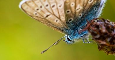 Common Blue, Kilwood