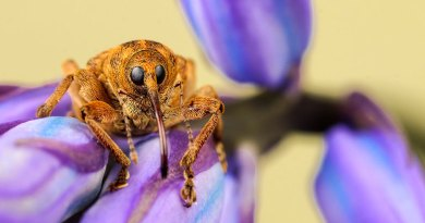 Nut Weevil on a Bluebell with yellow card background