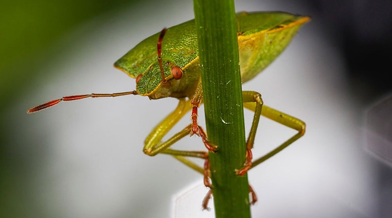 Common Green Shieldbug with white hat background