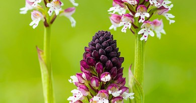Three Burnt-tip Orchids