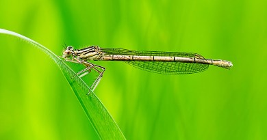 White-Legged Damselfly (1)
