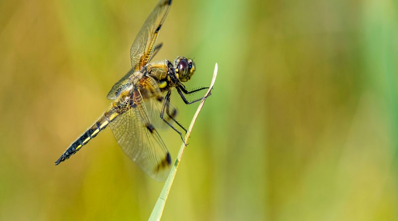 Four-spotted Chaser (2)