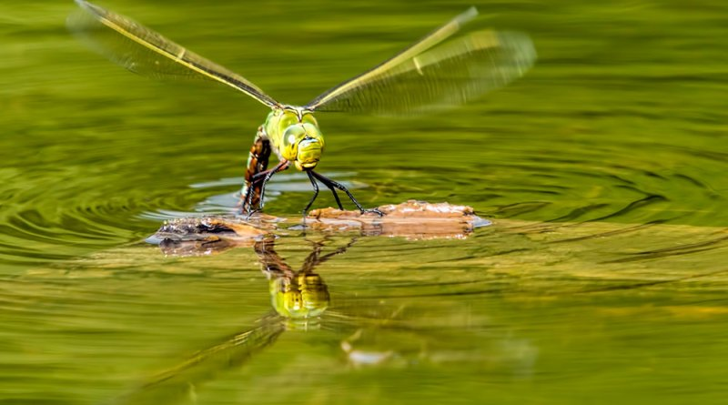 Emperor Dragonfly laying eggs (3)