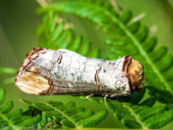 Buff tip moth