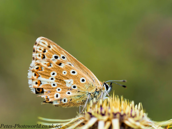 Chalk-hill Blue