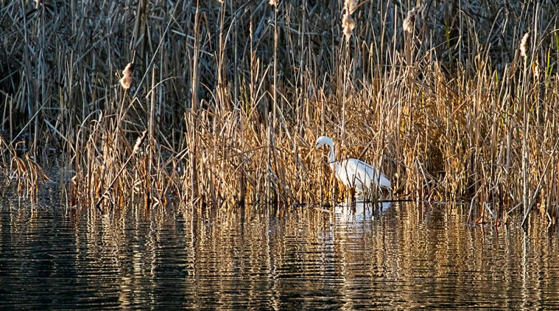 Great White Egret fishing amongst the reedbed
