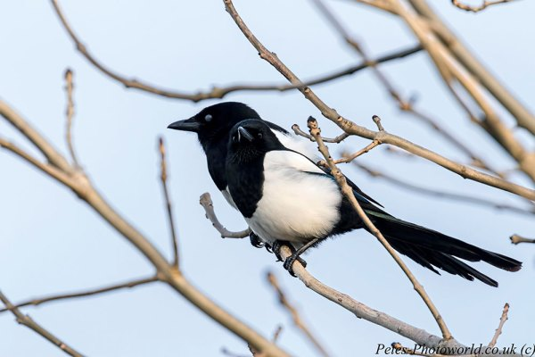 Pair of Magpies