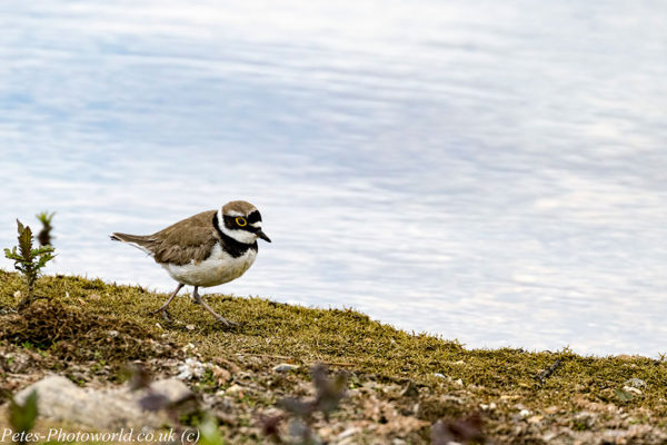 Little Ringed Plover on the move
