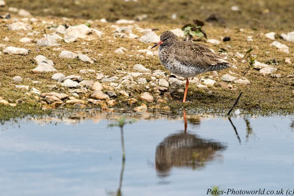Redshank with Canon 500mm lens + 2x extender