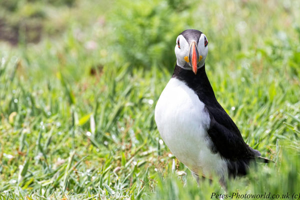 Face on with a Puffin