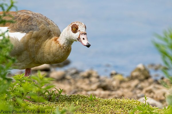 Face to face with an Egyptian Goose