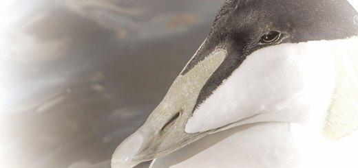 Eider Duck Black & White
