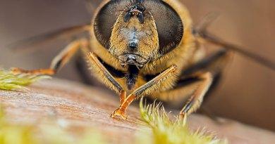 Hoverfly headshot