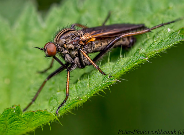 Robber Fly 2 image stack