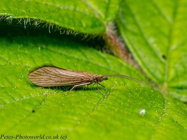 A Caddisfly