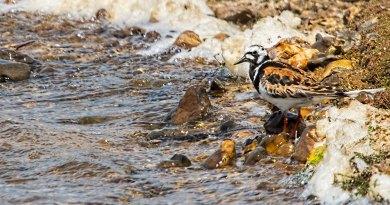 Turnstone in summer plumage