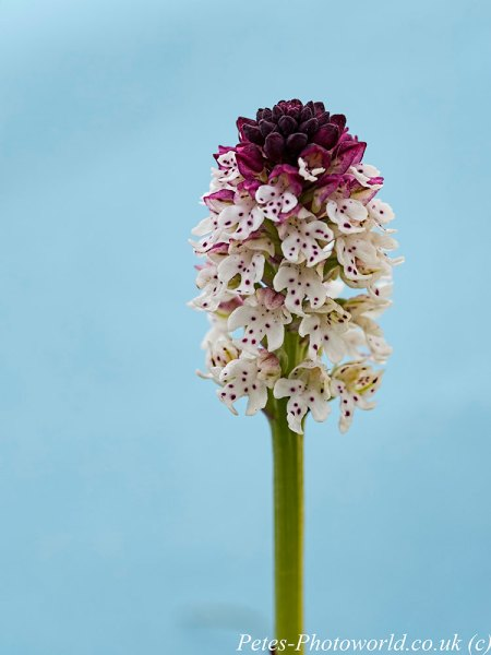 Burnt-tip orchid & blue card