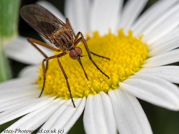 Dance or Dagger fly daisy feeding