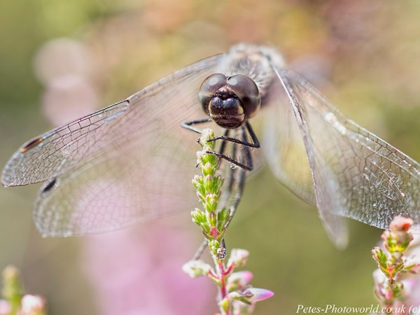 A Black Darter dragonfly face on