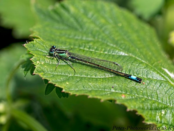 Infuscans Blue-tailed damselfly profile shot