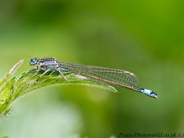 Blue-tailed damselfly profile shot