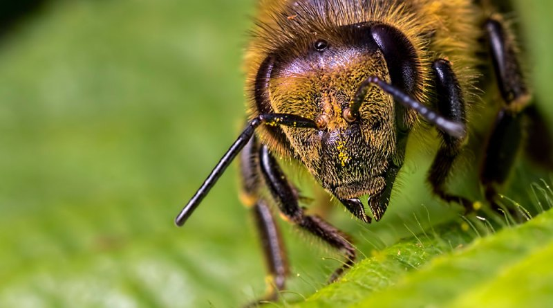Honey Bee up close