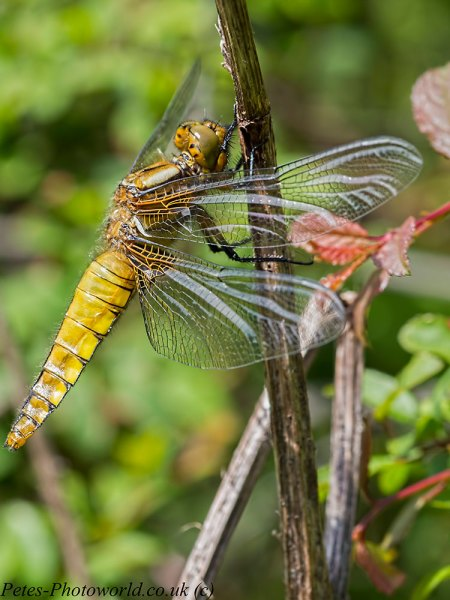 Broad-bodied Chaser portrait