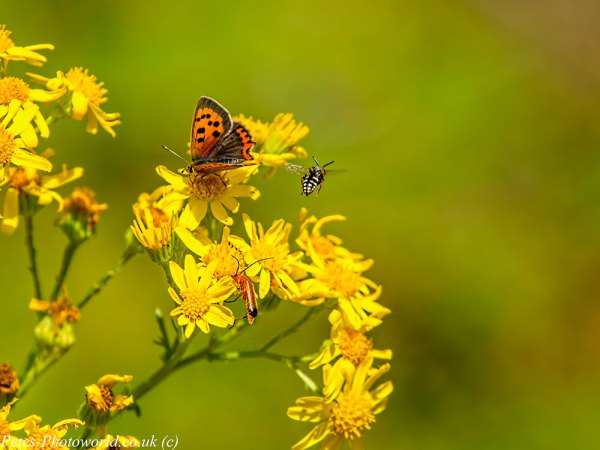 Small Copper, Bee & a Beetle