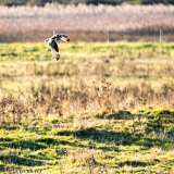 Short-eared owl in flight (1)