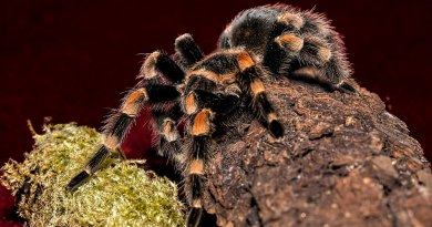 Mexican redknee tarantula side shot