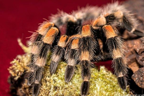 Mexican redknee tarantula up close