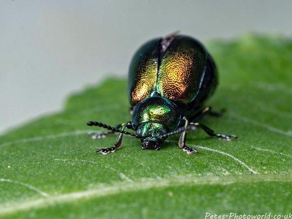 A Green Dock beetle (Gastrophysa populi)