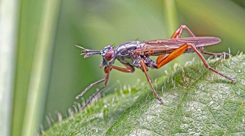 Sepedon sphega snail-killing fly