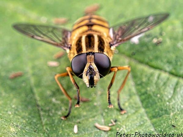 Helophilus pendulus hoverfly eyes