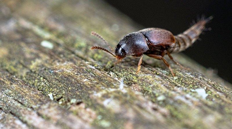 Othius punctulatus Rove Beetle II
