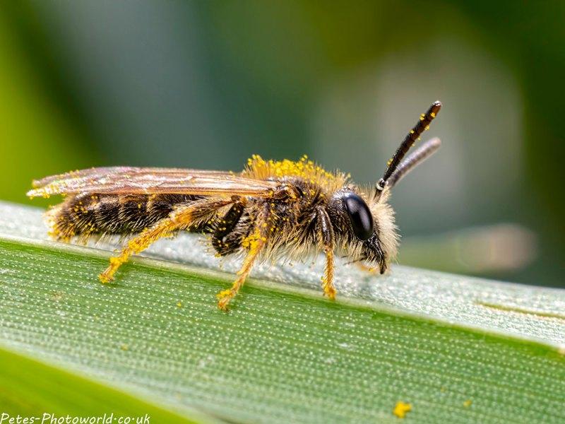 Andrena chrysosceles
