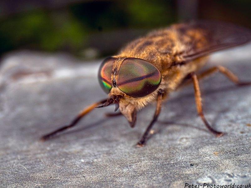 A Horsefly Eye