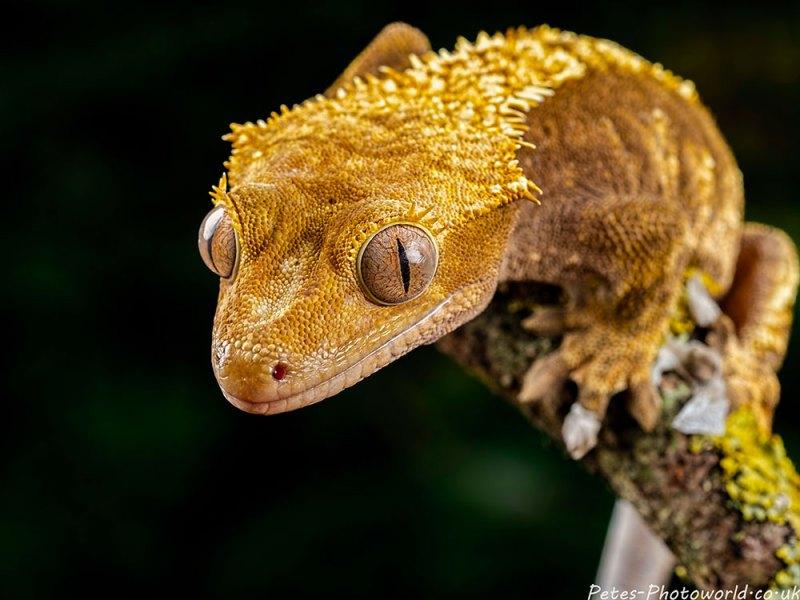 Golden gecko